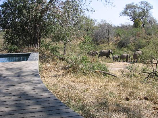 Dulini Leadwood Lodge: Safari - elephants walking by the Lodge