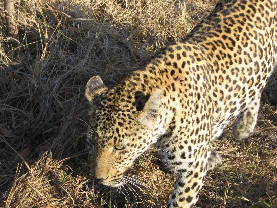 Dulini Leadwood Lodge: Safari - Leopard