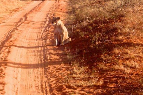 Kilaguni Serena Safari Lodge : Lion on safari