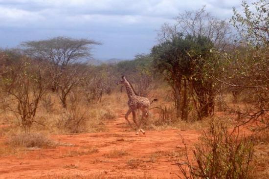 Kilaguni Serena Safari Lodge : Baby giraffe
