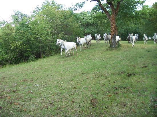 Липица, Словения: Lipizzaner Horses