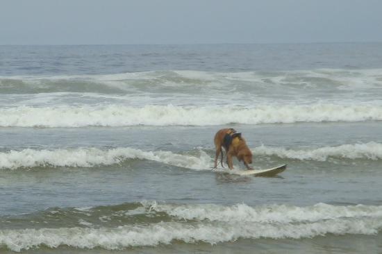 Kon Tiki Inn: dog surfing on beach outside hotel!