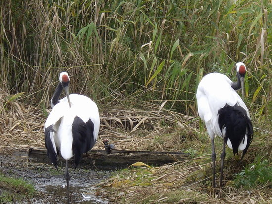 Kushiro, Japan: Red-crested Crane couple