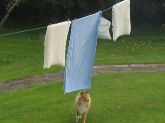 The Cherries: dog with the drying washing
