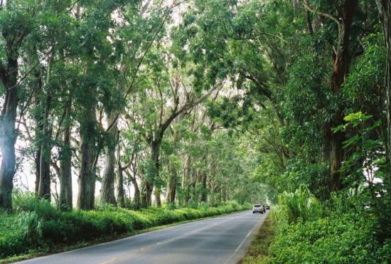 Waipouli Beach Resort: Tree Tunnel heading towards Poipu on the South Shore