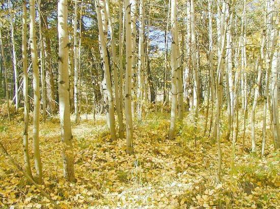 Nederland Co Aspen Grove Near Caribou Ranch