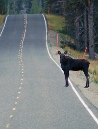 Silver Gate Cabins: Moose Crossing the Road