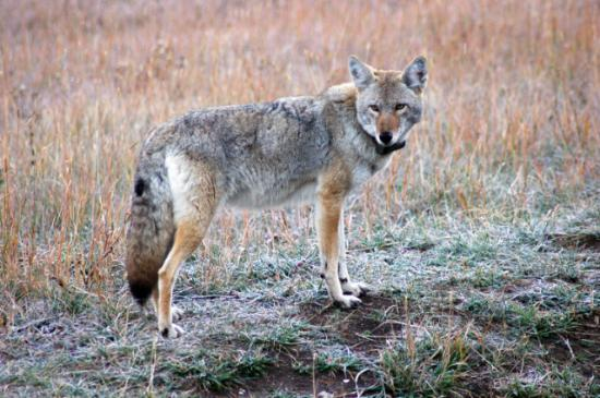 Silver Gate Cabins : Coyote at Mt. Barronette Pullout