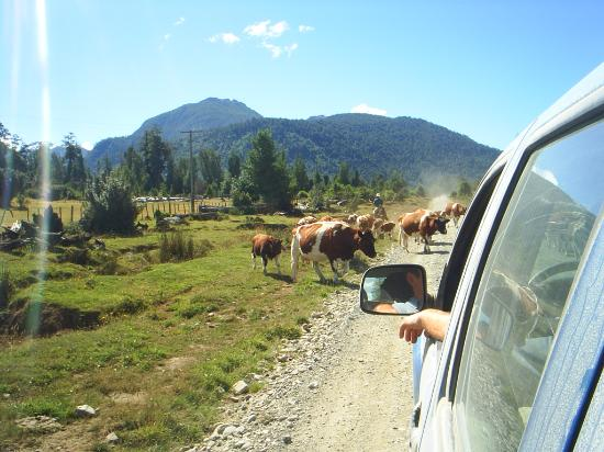 Carretera Austral: Vacas
