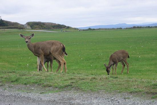 Fort Casey Inn: Deer family grazing at Camp Casey