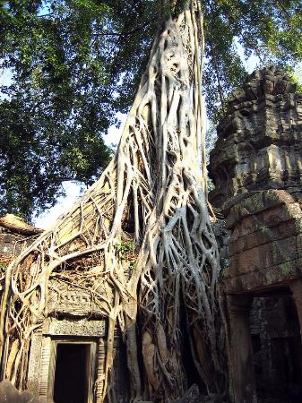 Siem Reap, Cambodia: Jungle's taking over
