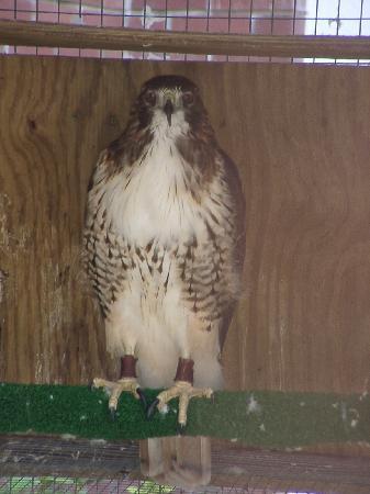 Oatland Island Wildlife Center: red tail hawk