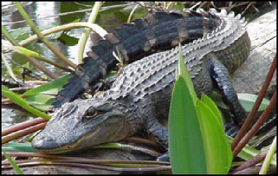 Oatland Island Wildlife Center: gators!