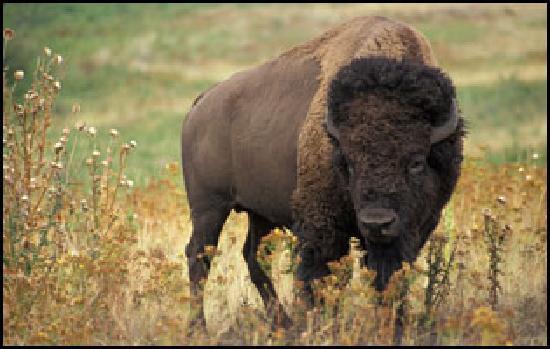 Oatland Island Wildlife Center: and Bison!