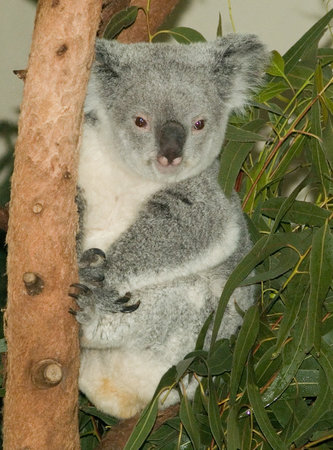 Riverbanks Zoo and Botanical Garden: Koala