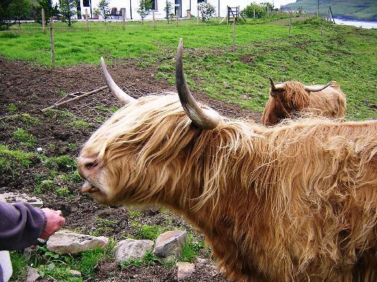 Остров Скай, UK: Scottish Highland cow