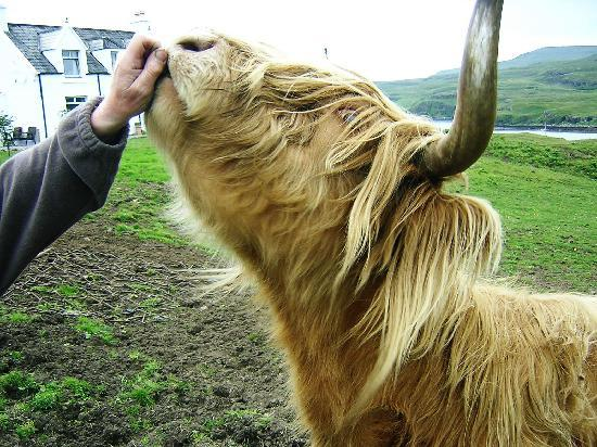 Isle of Skye, UK: Scottish Highland cow