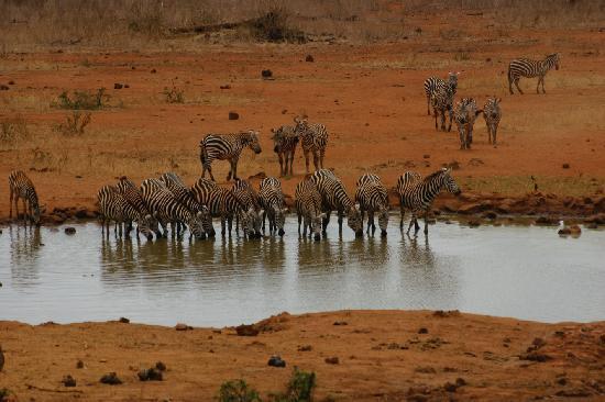 Kilaguni Serena Safari Lodge: Busy waterhole