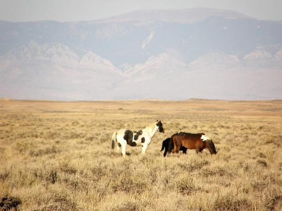 Red Canyon Wild Mustang Tour: Wild Mustangs