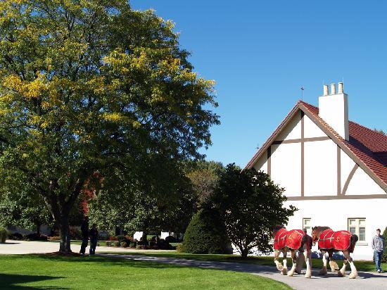Anheuser-Busch Brewery Tours: horses being taken to be cleaned