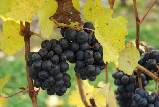 Pinot Noir grapes in Dundee, 10-2007