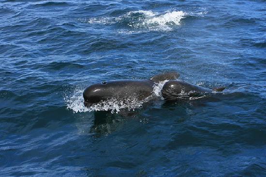 Cape Breton Island, Canada: Pilot whales