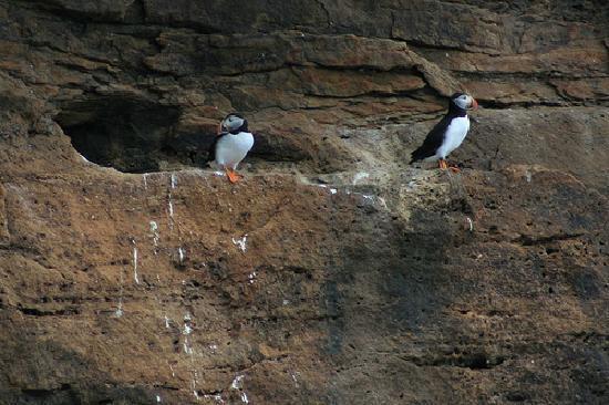 Cape Breton Island, Canada: Puffins in Bird Island
