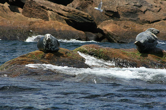 Cape Breton Adası, Kanada: seals in Bird Island