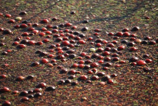 Cranberry Museum: Cranberries in the water
