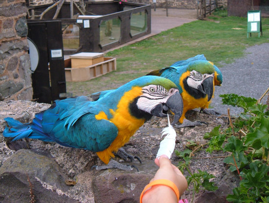 Allerford, UK: Wandering Macaws