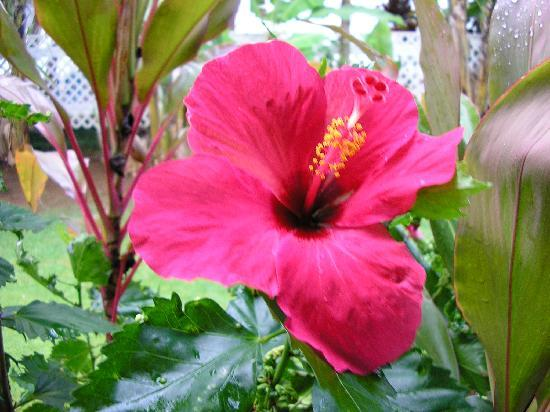 Kalaheo Inn: Red hibiscus outside our door