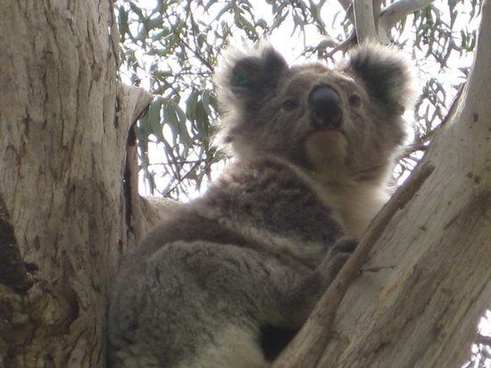Warrnambool, Australië: Female Koala 1