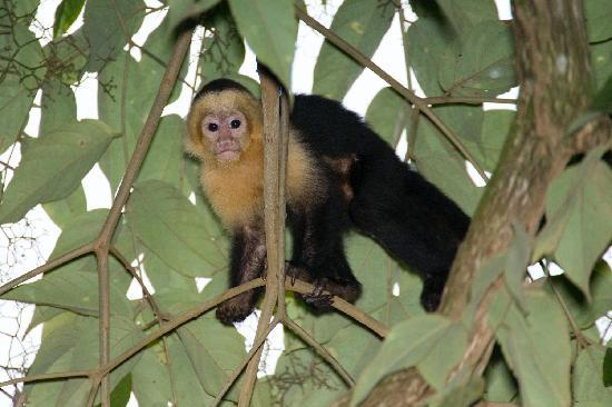 Pacific Edge: A White-throated Capuchin coming for his breakfast