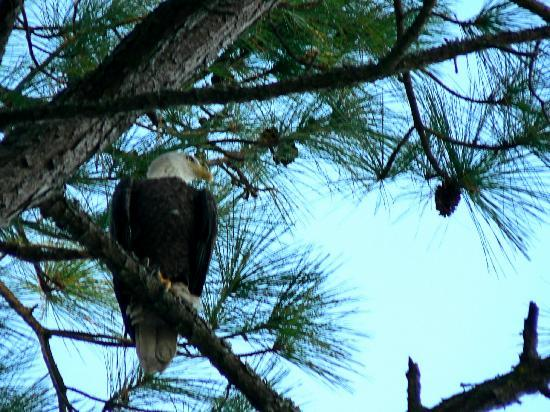 Hunting Island State Park Campground: Genuine Bald Eagle above our campsite