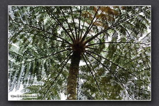 Jardin de Balata: Fougère arborescente
