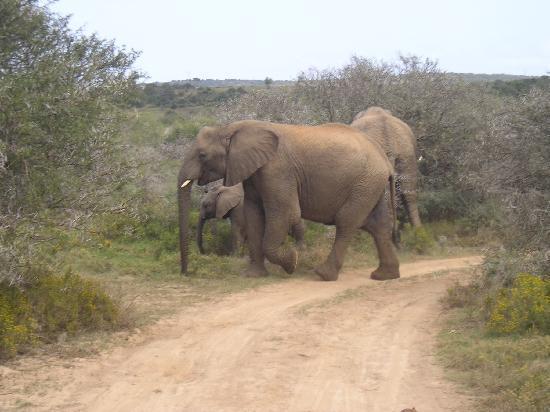Shamwari Game Reserve Lodges: 'Elephant Crossing', no zebras around