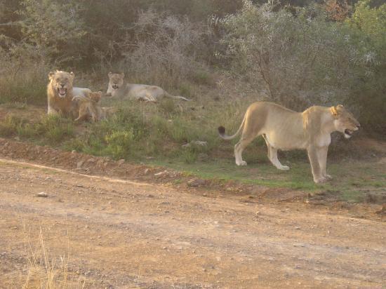 Shamwari Game Reserve Lodges: The Lion King and family