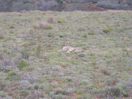 Shamwari Game Reserve Lodges: An elusive Cheetah