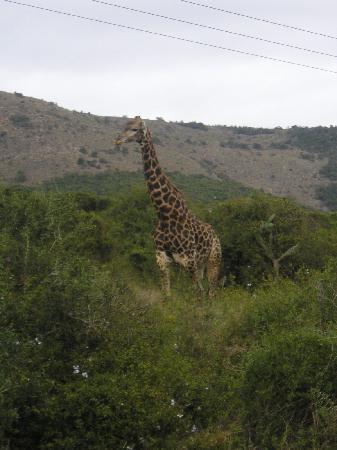 Shamwari Game Reserve Lodges: 'Gerald' the Giraffe