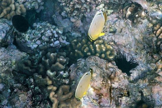 Oval butterflyfish - photo#28