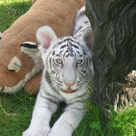 Issaquah, Etat de Washington : Bengal Tiger Cub Almos