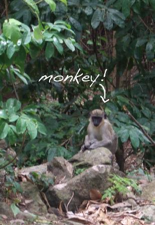 Nisbet Plantation Beach Club: monkey on the side of the road!
