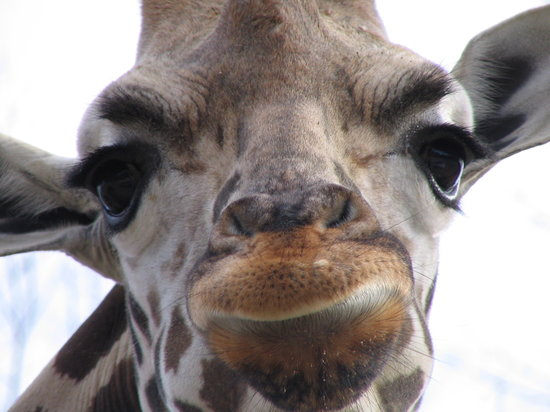 Sugarcreek, OH: Giraffe Gets Close