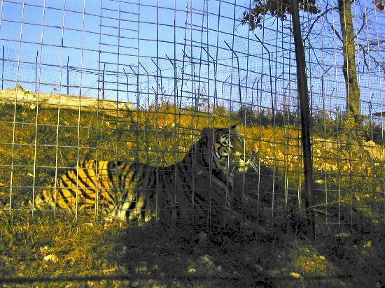 Turpentine Creek Overnight Lodging: Habitat enclosures for the cats