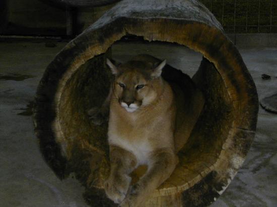 Turpentine Creek Overnight Lodging: Cougar habitat