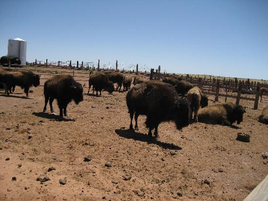 Winslow, AZ: Buffalo relaxing in the corral