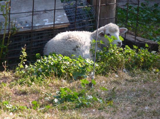 Thunder Valley Inn: Sheep