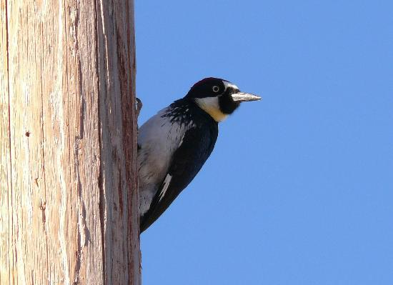 Sunglow Ranch - Arizona Guest Ranch and Resort: Acorn woodpecker
