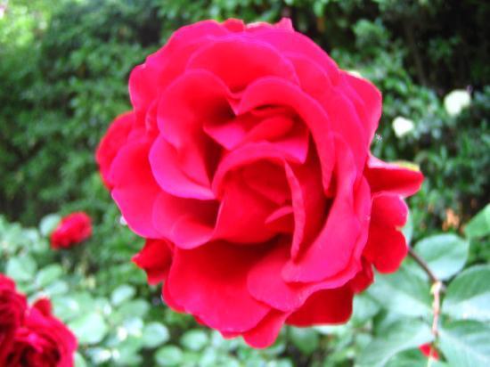 Casa Glebinias: roses