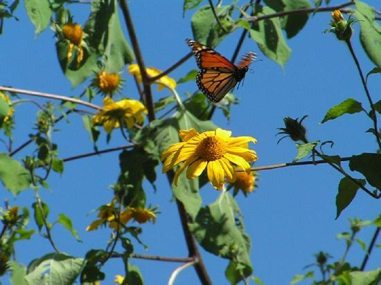 Rancho San Cayetano: Monarch Butterfly in Zitacuaro